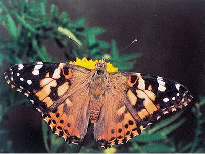 Adult painted lady butterfly