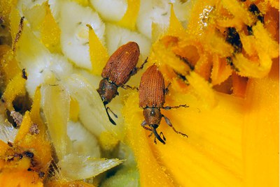 Adult red sunflower seed weevils