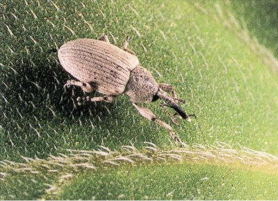 Adult gray sunflower seed weevil