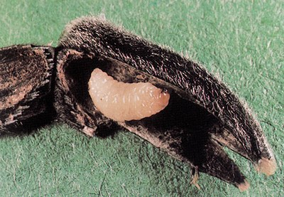 Gray sunflower seed weevil larva