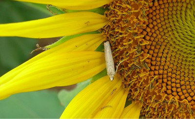 Adult sunflower moth