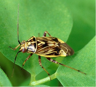 Adult lygus bug