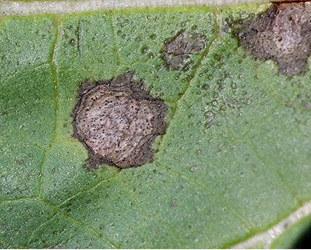 Septoria leaf spot