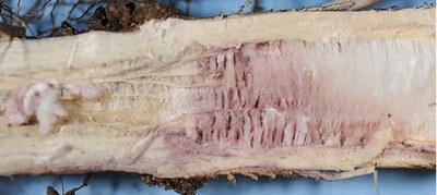 Fusarium stem rot