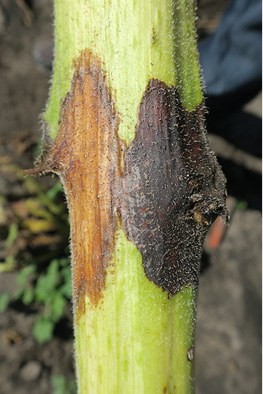 Phoma black stem (black on the right) and developing Phomopsis stem canker lesion (brown)