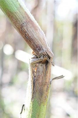 Phomopsis stem canker