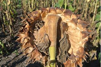 Severe Sclerotinia head rot infection