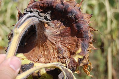 Rhizopus head rot