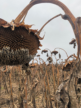 sunflowers depredated by birds