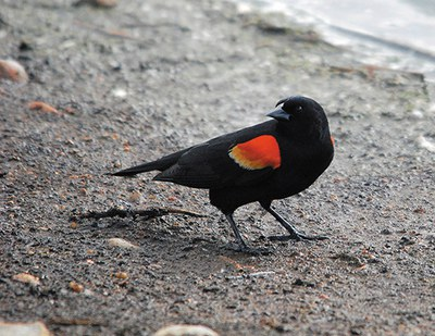 Figure 123. The red-winged blackbird is the most serious bird pest of sunflower in the northern Great Plains. (USDA Wildlife Services)