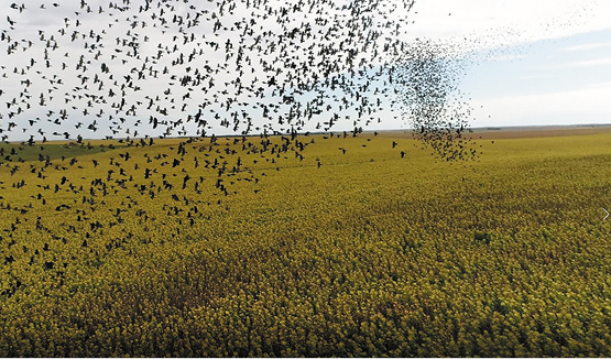 blackbirds over sunflower field