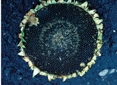 frost damage on sunflower head