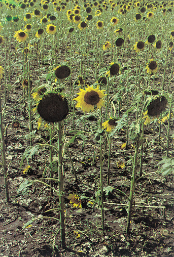 sunflowers defoliated by hail