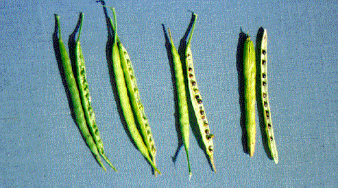 Change in pod and seed maturity