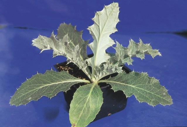 Wavy leaf thistle leaves
