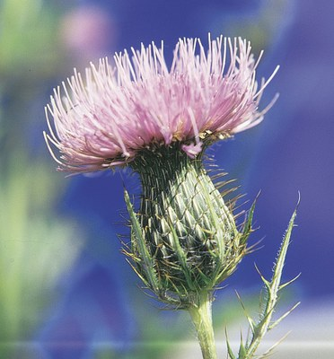 Common pink head of field thistle
