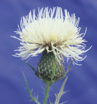 White flowering form of field thistle