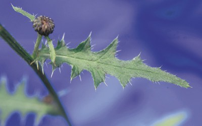 Leaves of swamp thistle