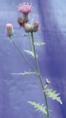 Swamp thistle stems