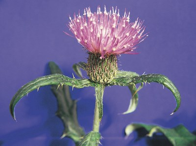 Tall thistle flowers