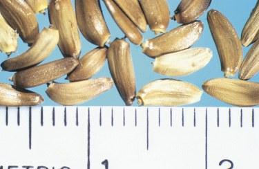 Wavyleaf seed