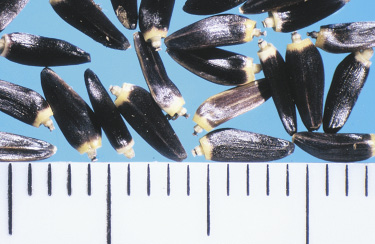 Figure 25D, Photo by Rod Lym, NDSU