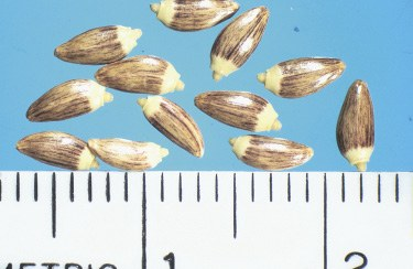 Tall seed