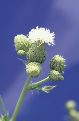 White flowering form of Canada