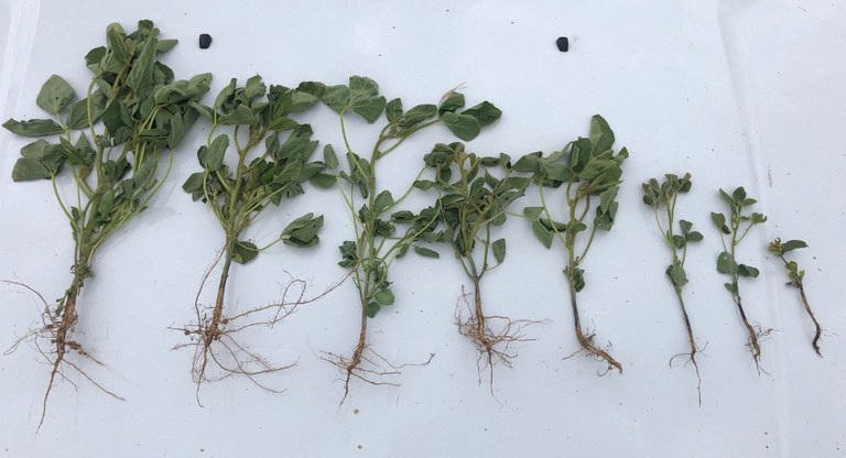 soybean plants and their root systems