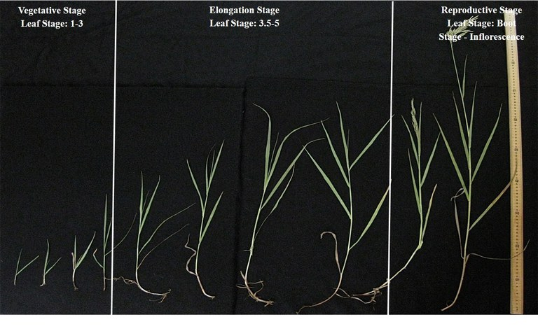 Morphological stages smooth brome