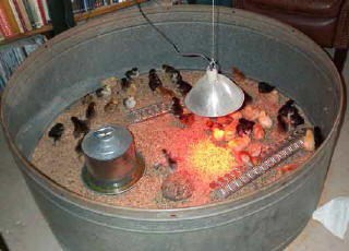 A Heat Lamp Keeps Pheasant Chicks Warm In A Brood Rearing Area. (Photo  Courtesy Of Black Mesa Ranch, Snowflake, Ariz.)
