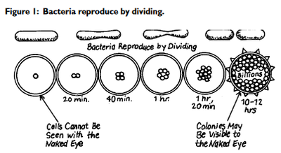 Bacteria Reproduced by dividing