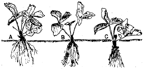 Strawberry plants should be set carefully at the proper depth. (A) Too shallow (B) Correct (C) Too deep.