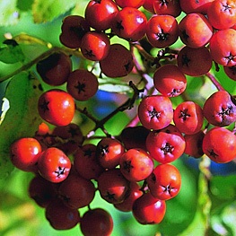 European Mountain Ash berries