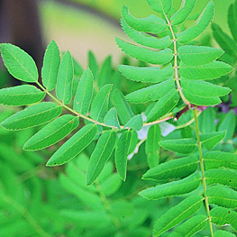 European Mountain Ash leaves