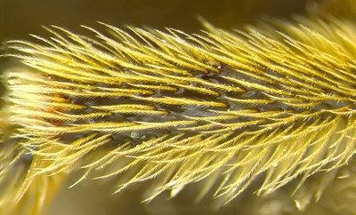 Figure 7 Close-up of hairs on bee