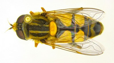 Figure 11a Hoverfl or flower fly
