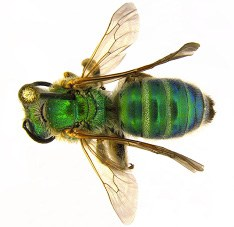 Figure 17a Sweat bee
