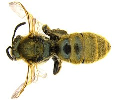 Figure 17c Sweet bee