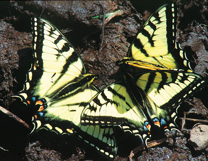 Canadian swallowtails Figure 2