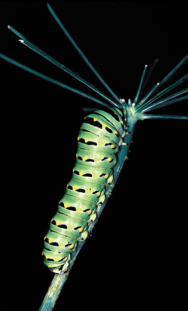 Caterpillar of black swallowtail Figure 3