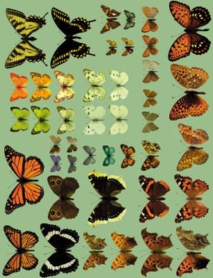 Color Plate of butterflies Figure 14