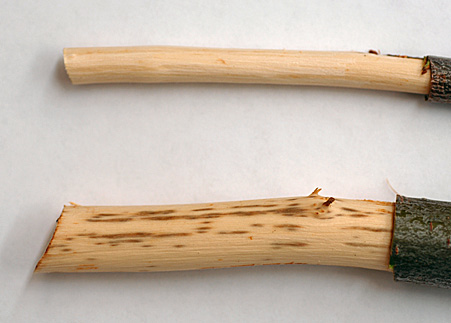 Brown streaking (B) is a characteristic symptom of Dutch elm disease.