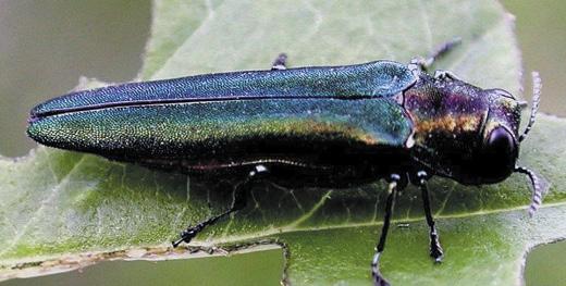 Bugwood.org