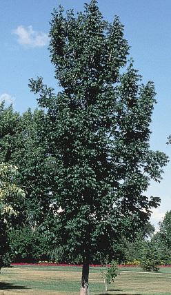 Photo ND Tree Handbook, NDSU