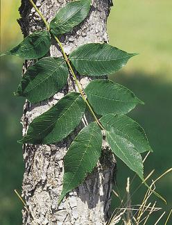 ND Tree Handbook, NDSU