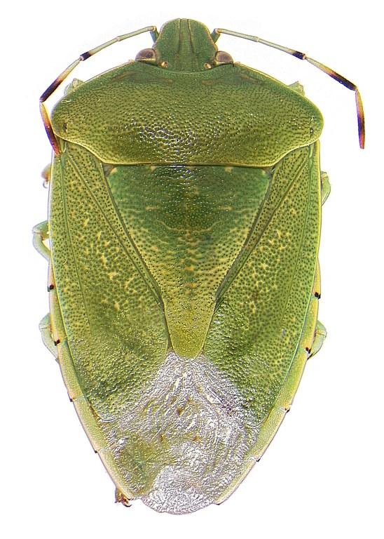 #14 Green stink bug