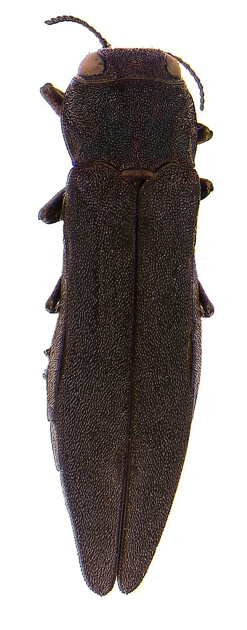 #3 Bronze birch borer