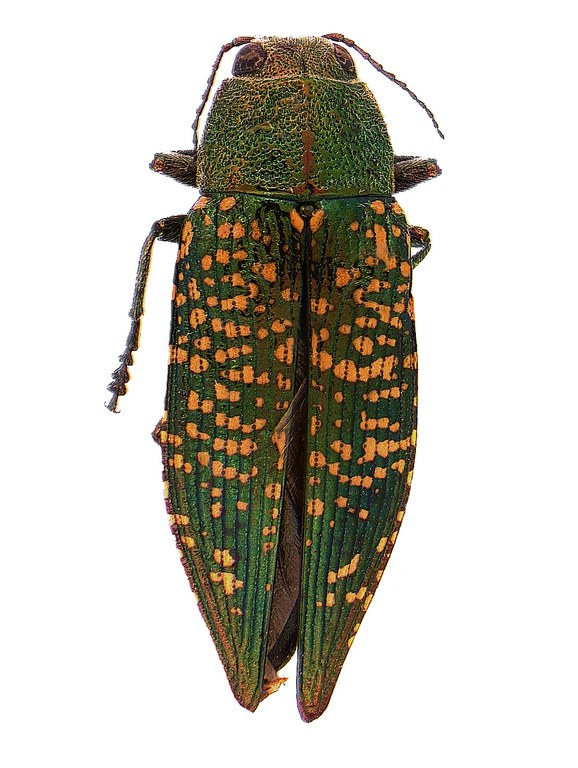 #4 Green metallic woodborer