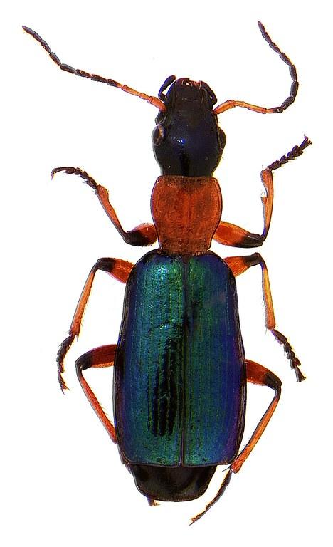 #7 Calleida beetle